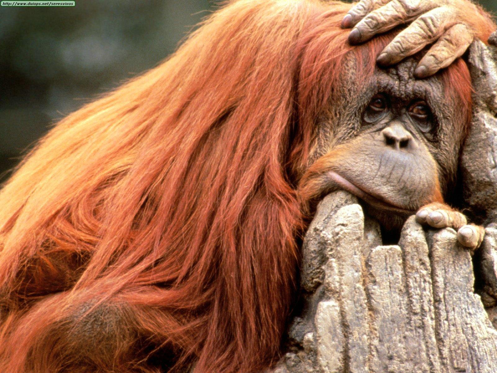 http://www.duiops.net/seresvivos/galeria/orangutanes/Animals%20Orangutans_Ready%20for%20the%20Weekend,%20Orangutan.jpg