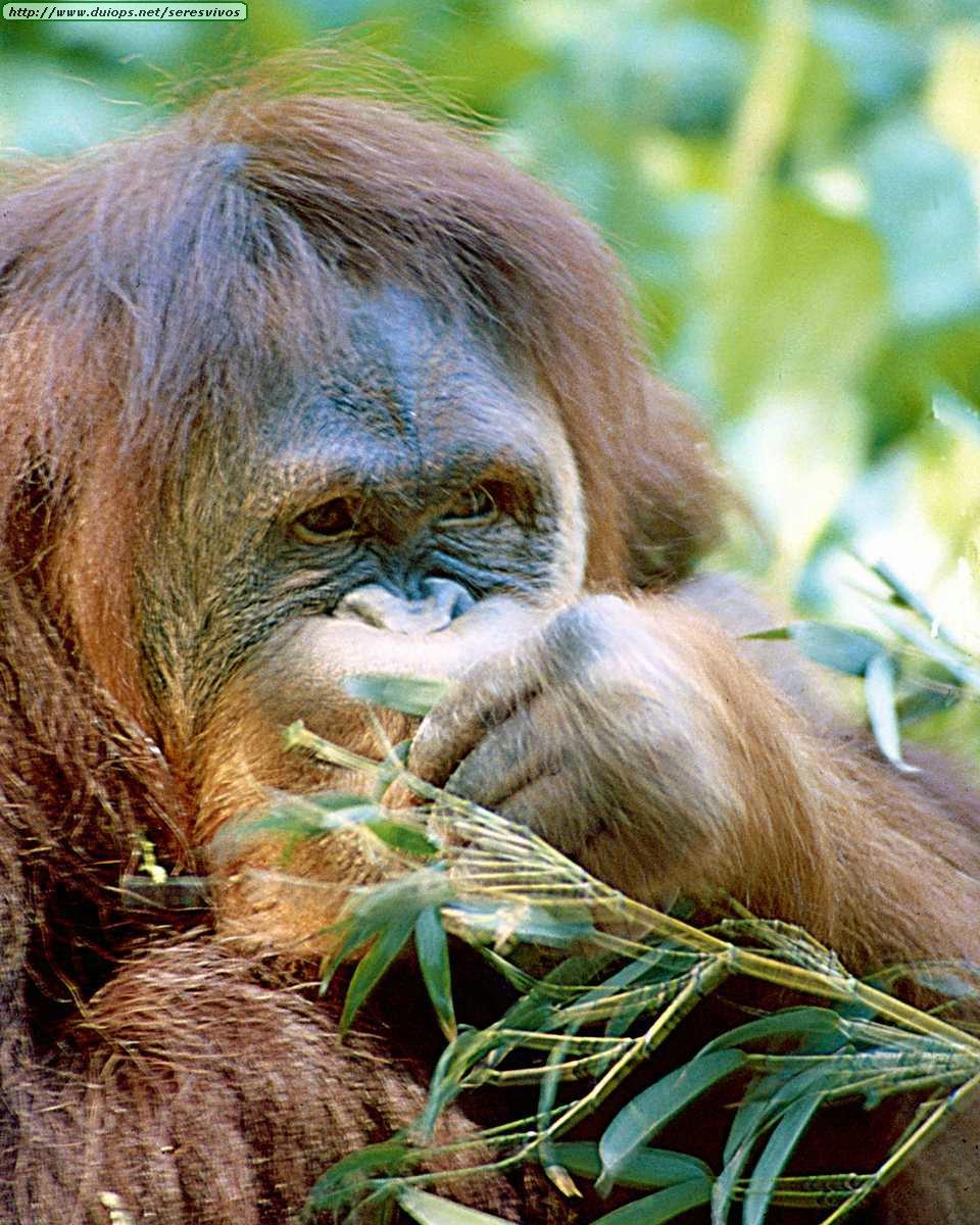 http://www.duiops.net/seresvivos/galeria/orangutanes/Animals%20_ANML0004.JPG