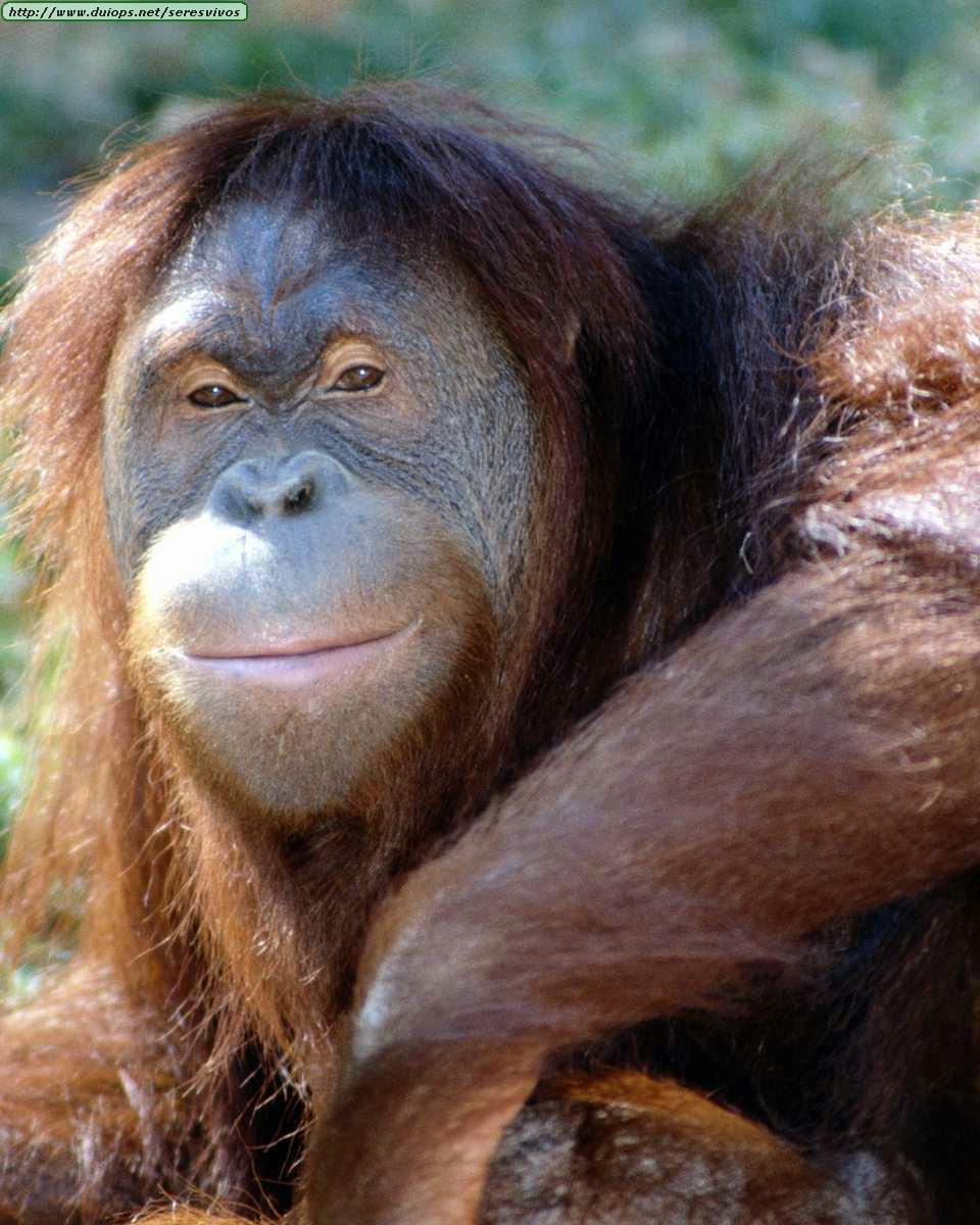 http://www.duiops.net/seresvivos/galeria/orangutanes/Animals%20_ANML0005.JPG