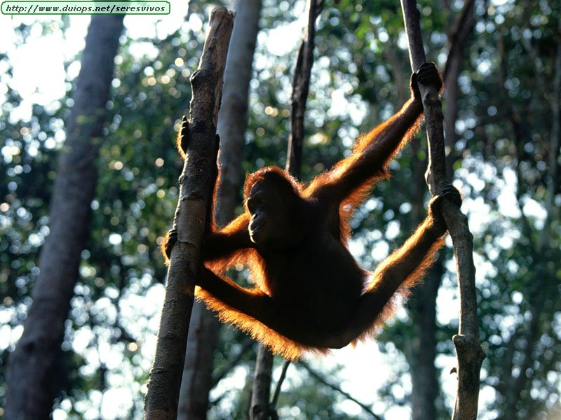 http://www.duiops.net/seresvivos/galeria/orangutanes/Animals_Primates_Hang%20Time,%20Bornean%20Orangutan.jpg