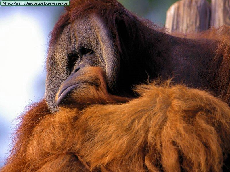 http://www.duiops.net/seresvivos/galeria/orangutanes/Animals_Primates_Orangutan,%20Looking%20Sullen.jpg