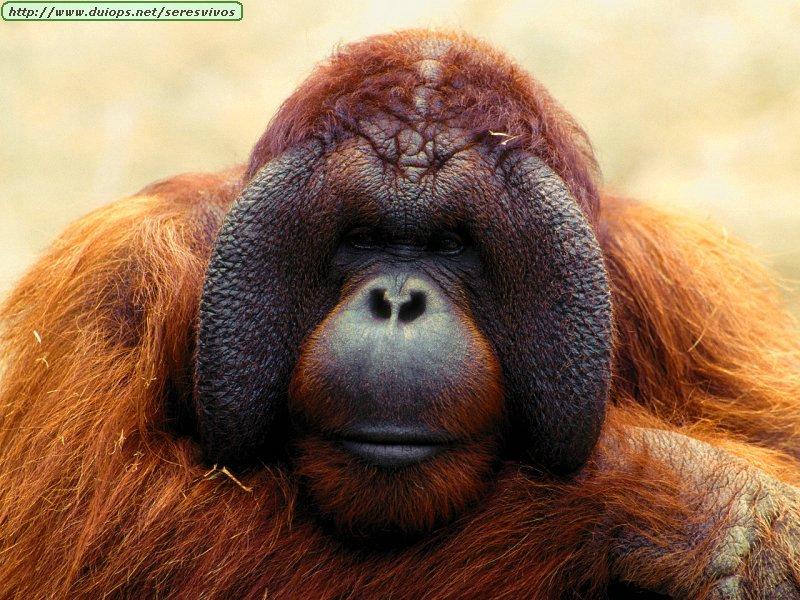 http://www.duiops.net/seresvivos/galeria/orangutanes/Animals_Primates_Pondering%20Life,%20Orangutan.jpg