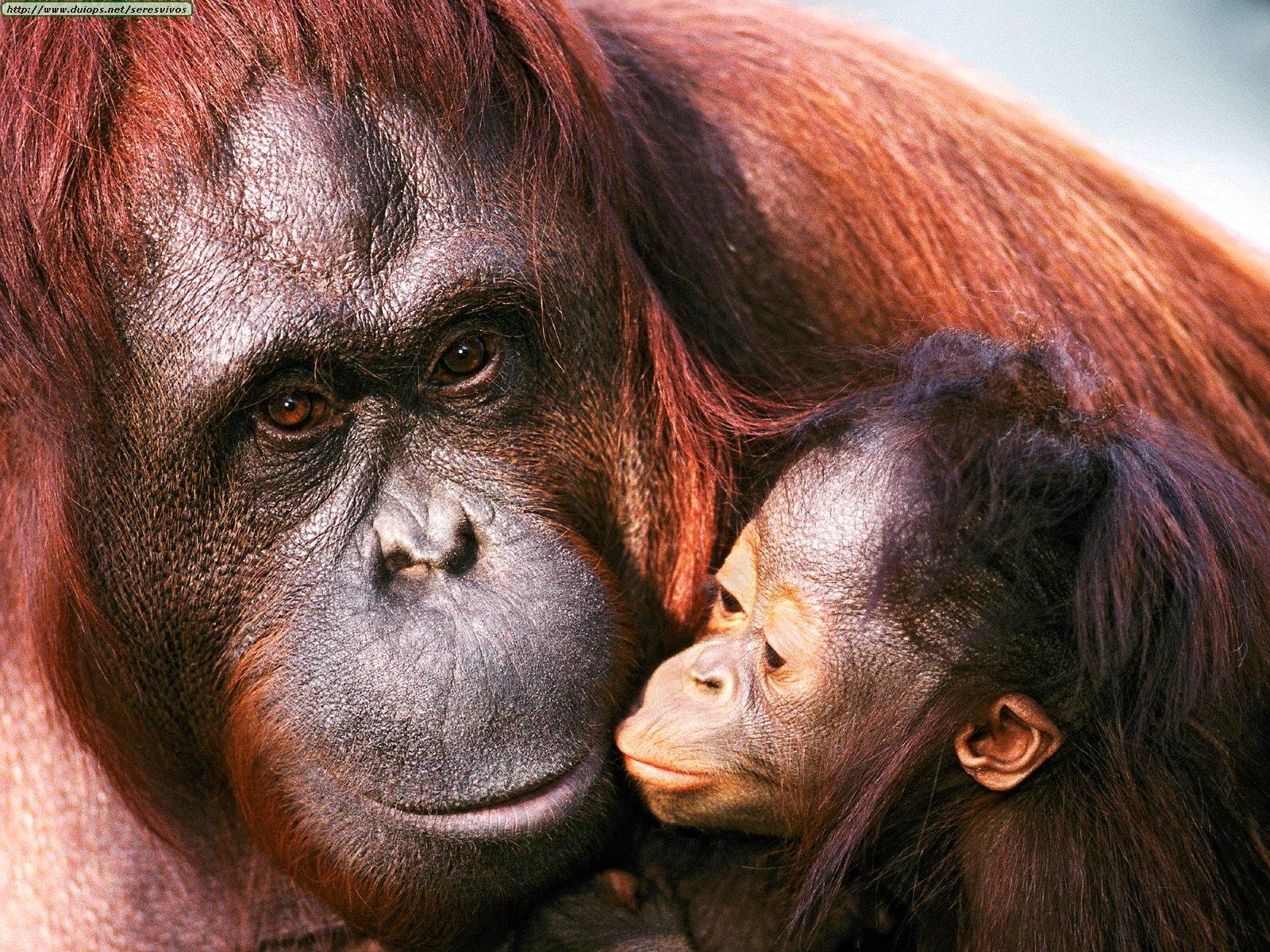 http://www.duiops.net/seresvivos/galeria/orangutanes/Female%20Sumatran%20Orangutan%20and%20Baby.jpg