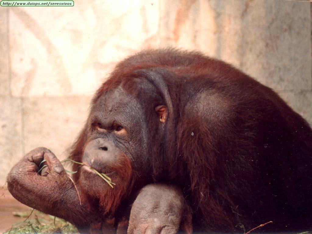 http://www.duiops.net/seresvivos/galeria/orangutanes/Mono_1.jpg