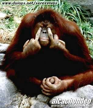 http://www.duiops.net/seresvivos/galeria/orangutanes/Mono_Malo.jpg