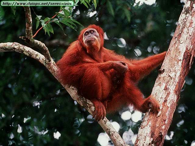 http://www.duiops.net/seresvivos/galeria/orangutanes/NGB10018.JPG