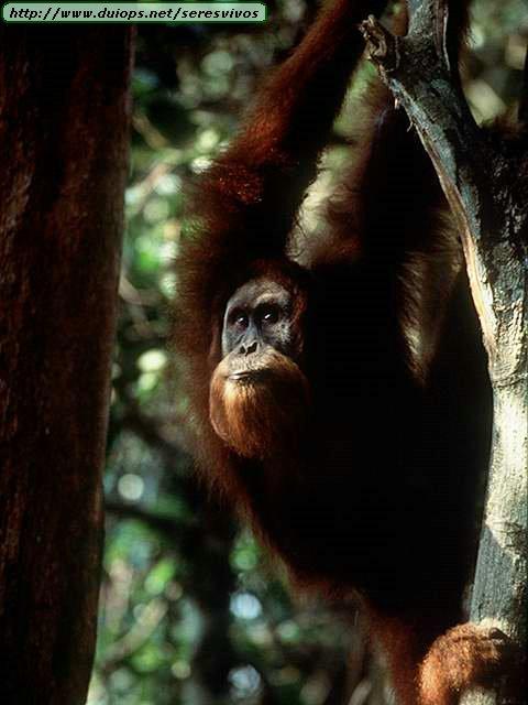 http://www.duiops.net/seresvivos/galeria/orangutanes/NGB10021.JPG