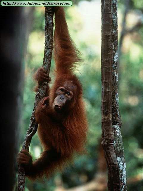 http://www.duiops.net/seresvivos/galeria/orangutanes/NGB10022.JPG