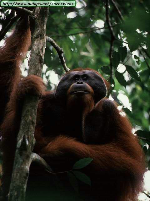 http://www.duiops.net/seresvivos/galeria/orangutanes/NGB10040.JPG