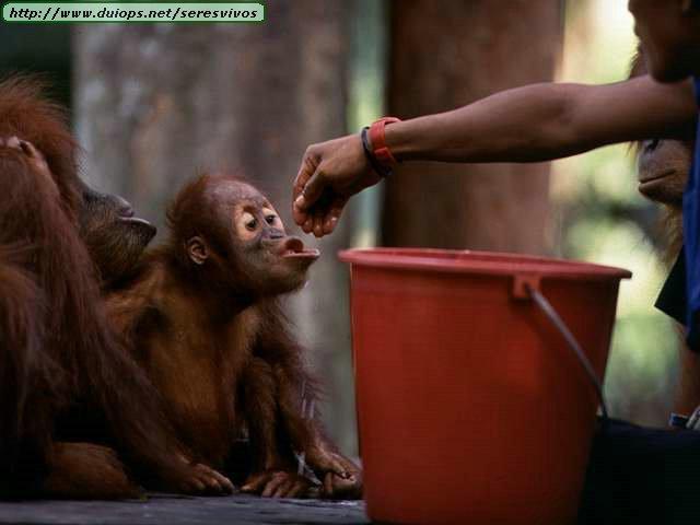 http://www.duiops.net/seresvivos/galeria/orangutanes/NGB10265.JPG