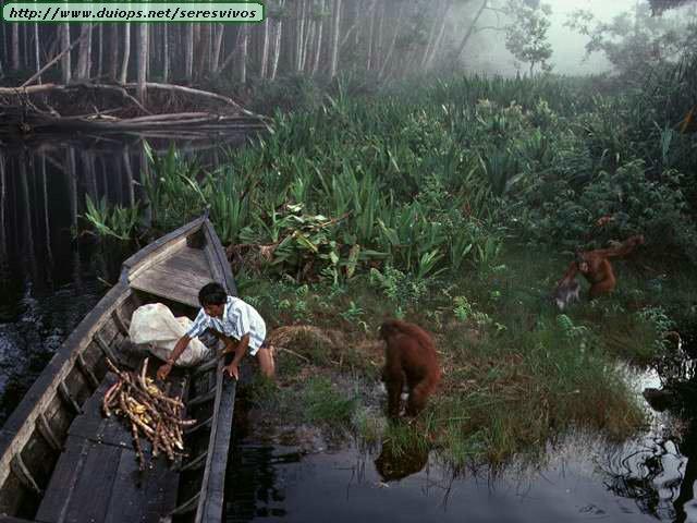 http://www.duiops.net/seresvivos/galeria/orangutanes/NGB10267.JPG