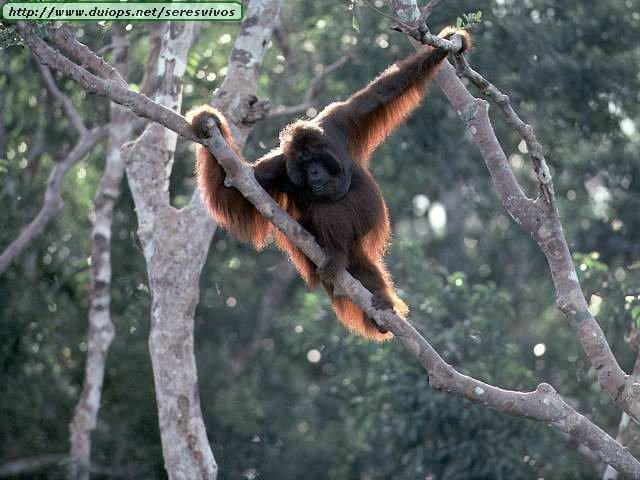 http://www.duiops.net/seresvivos/galeria/orangutanes/NGB10268.JPG