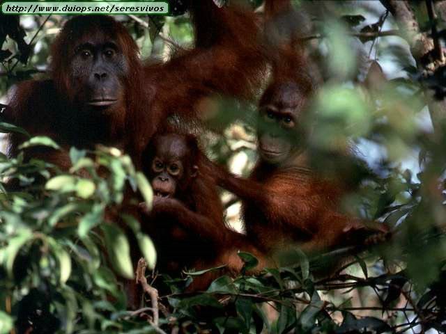 http://www.duiops.net/seresvivos/galeria/orangutanes/NGB10269.JPG