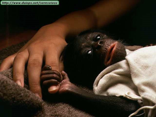 http://www.duiops.net/seresvivos/galeria/orangutanes/NGB10274.JPG