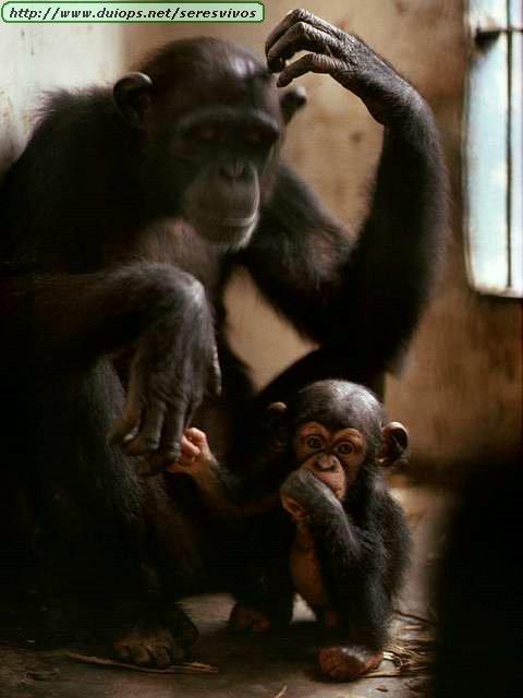 http://www.duiops.net/seresvivos/galeria/orangutanes/NGB10275.JPG