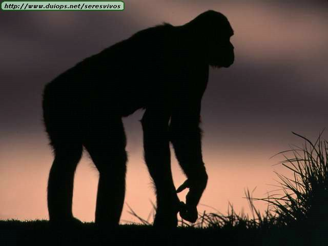 http://www.duiops.net/seresvivos/galeria/orangutanes/NGB10280.JPG