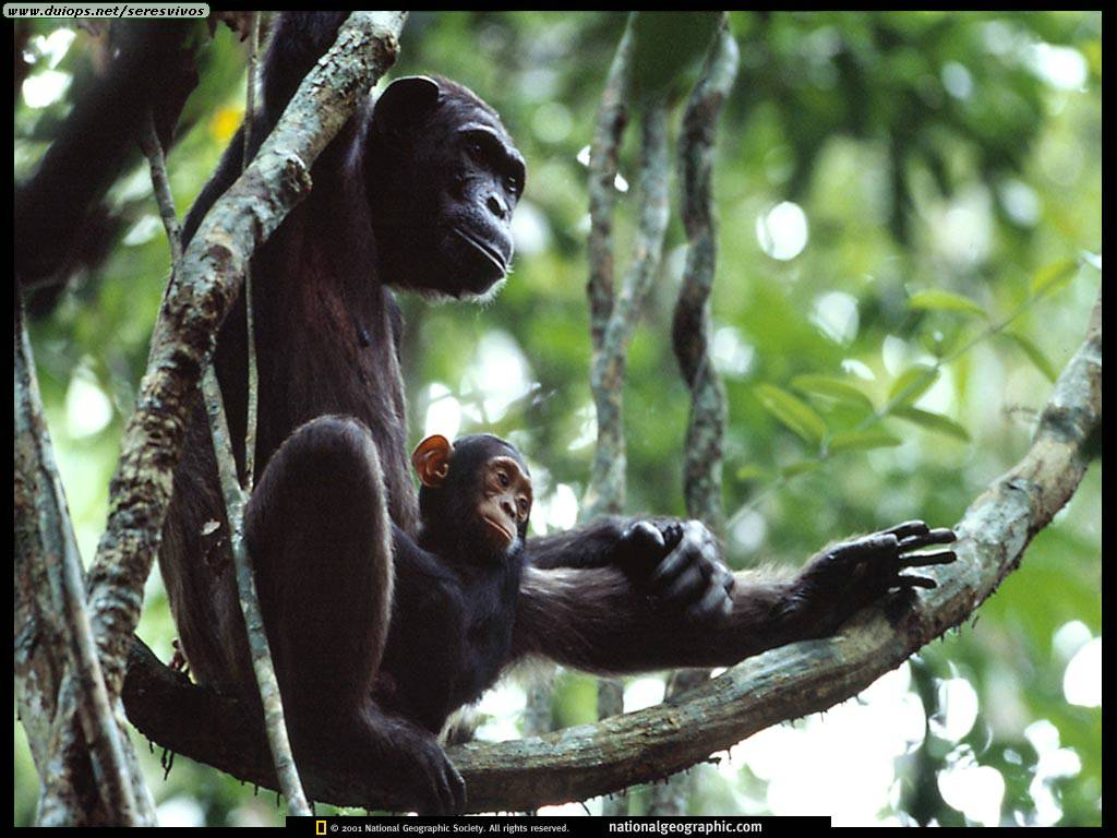 http://www.duiops.net/seresvivos/galeria/orangutanes/NGM10_00_p22.jpg
