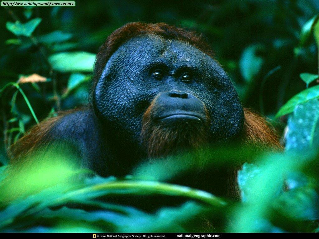 http://www.duiops.net/seresvivos/galeria/orangutanes/NGM1998_08p30-1.jpg