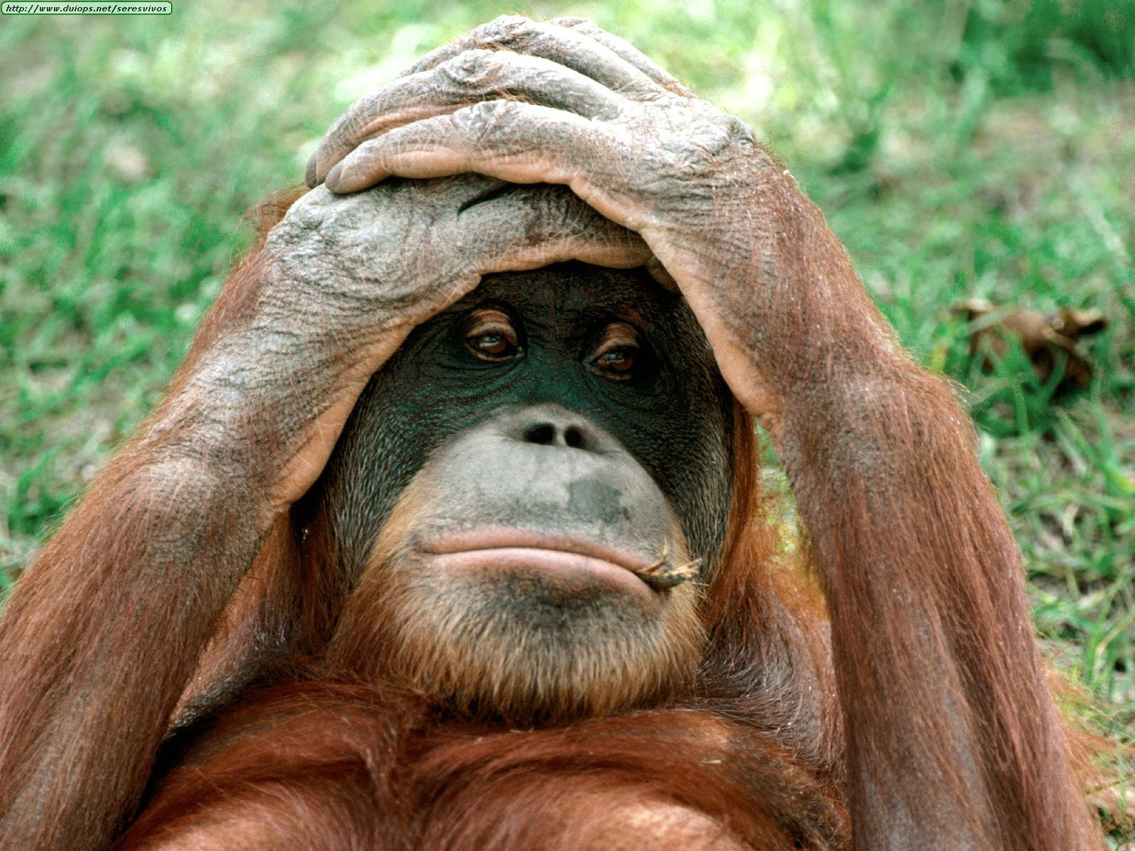 http://www.duiops.net/seresvivos/galeria/orangutanes/Orangutan,%20China.jpg