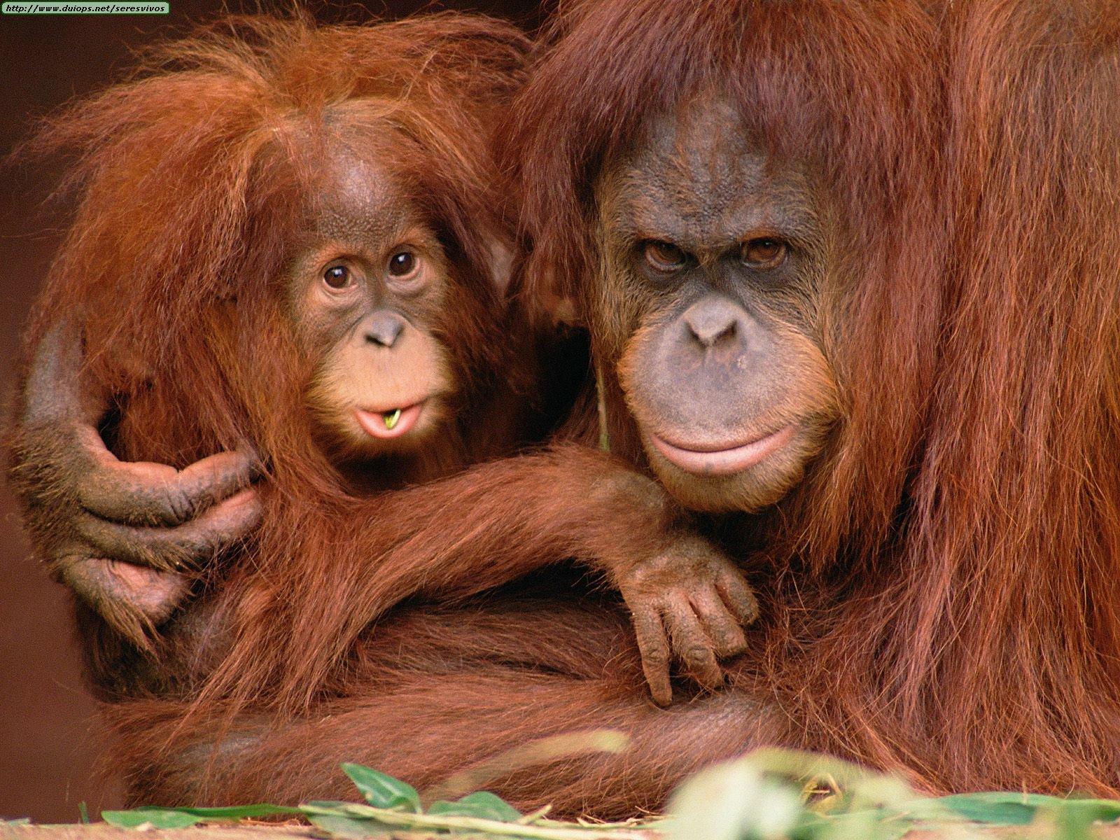 http://www.duiops.net/seresvivos/galeria/orangutanes/Very%20Protective,%20Orangutans.jpg