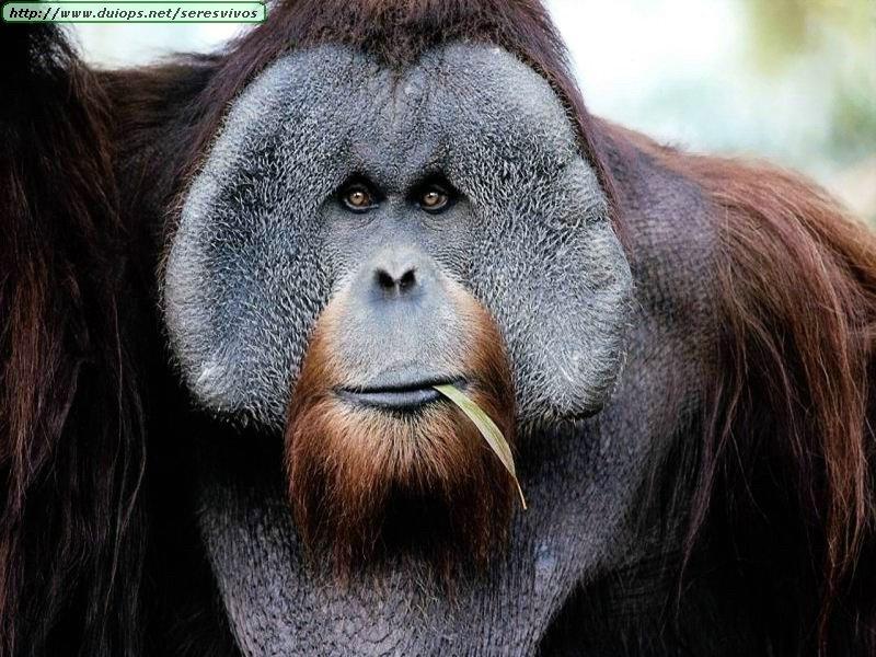 Q Son Los Orangutanes Fotos de orangutanes