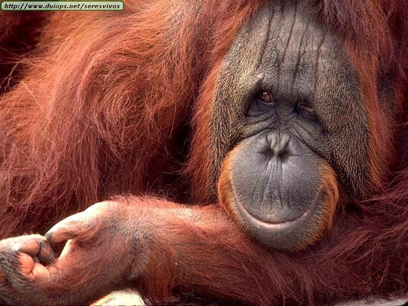 http://www.duiops.net/seresvivos/galeria/orangutanes/mono_.jpg