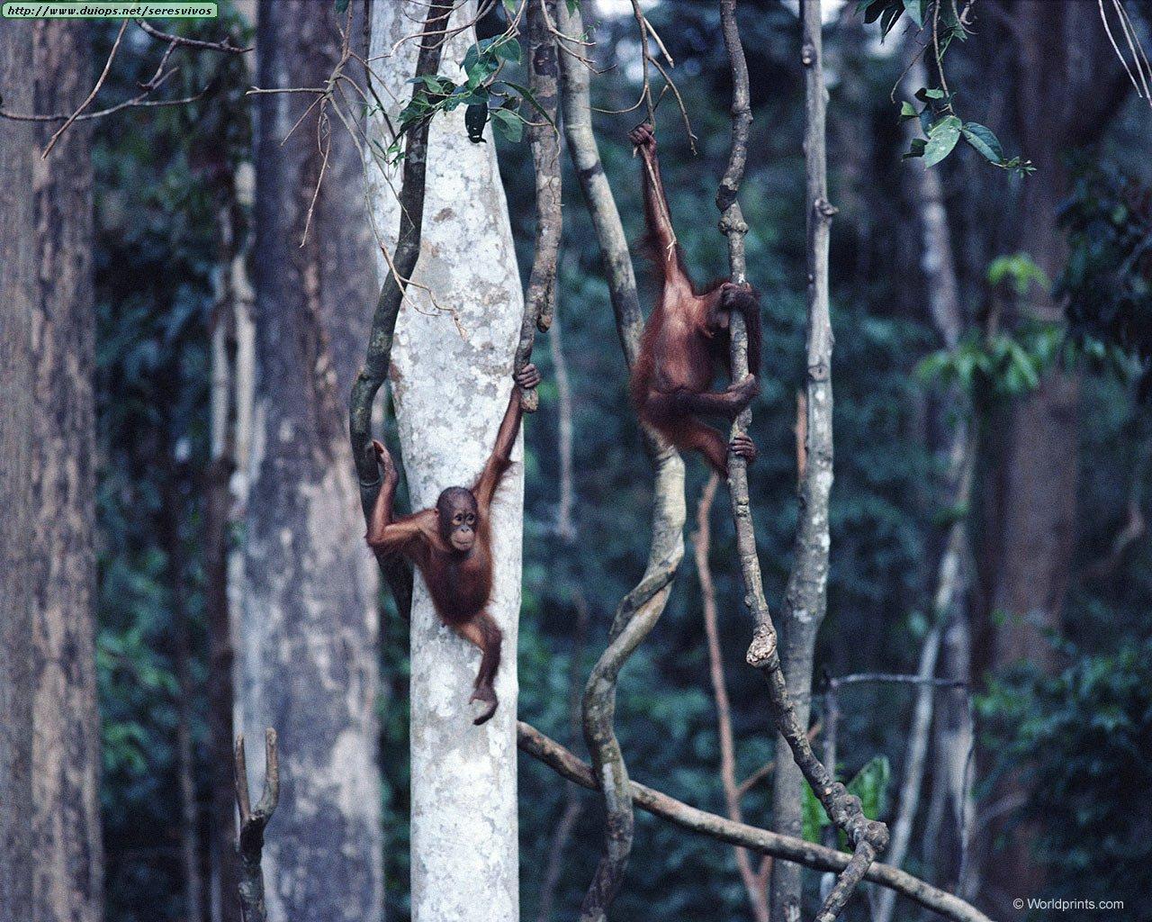 http://www.duiops.net/seresvivos/galeria/orangutanes/nwe280.jpg