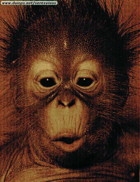 http://www.duiops.net/seresvivos/galeria/orangutanes/oh_c.jpg