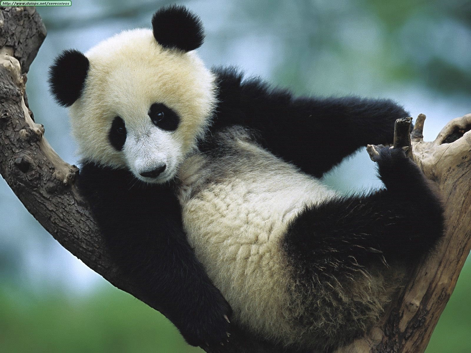 adaptation essay on pandas