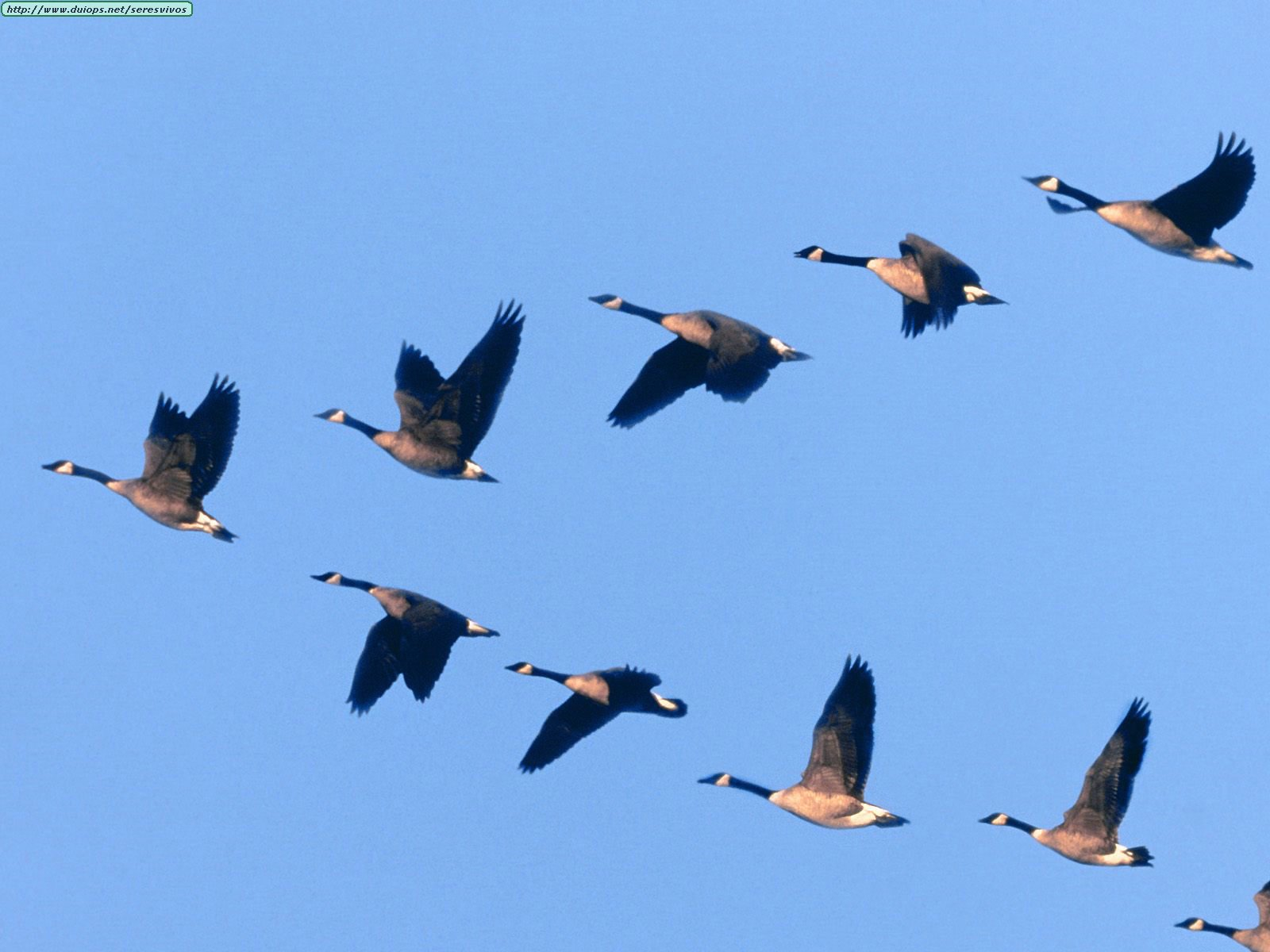 Animals%20Waterfowl_Wild%20Formation.jpg