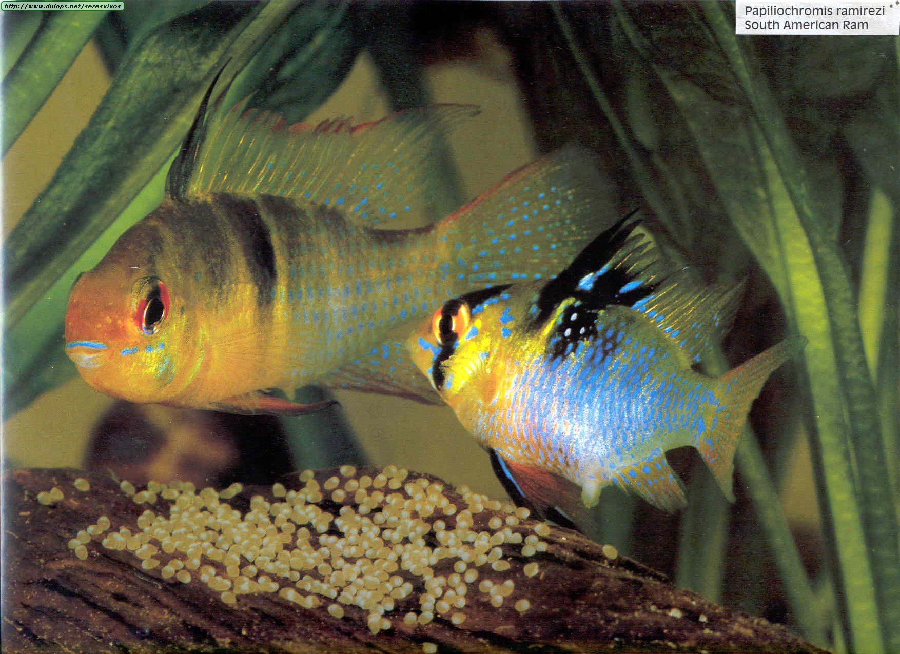 tipos de reproduccion de peces: