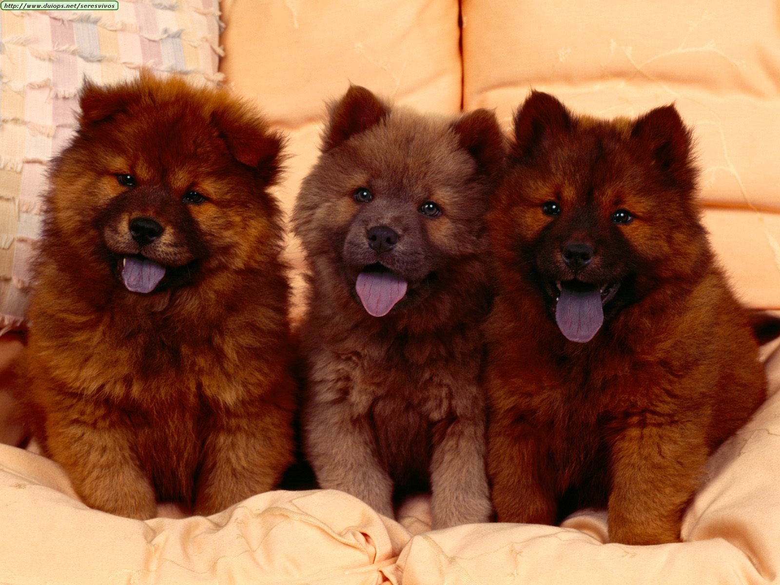 http://www.duiops.net/seresvivos/galeria/perros/Cozy%20Couch,%20Chow%20Chow%20Puppies.jpg