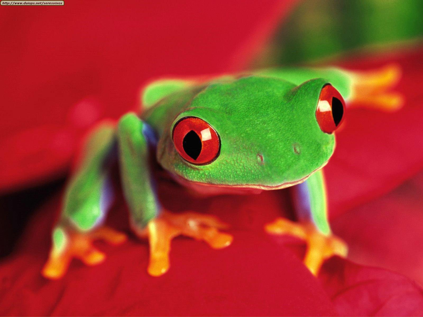 http://www.duiops.net/seresvivos/galeria/ranassapos/Red-eyed%20Tree%20Frog.jpg