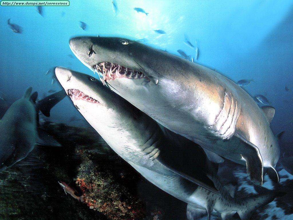 Fotos de tiburones y peces martillo for Como se cultivan los peces