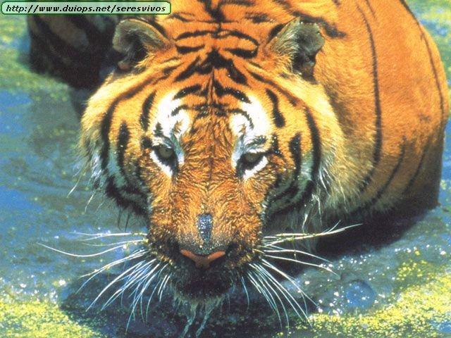 Tigres V Scorpions Tigers photos (...
