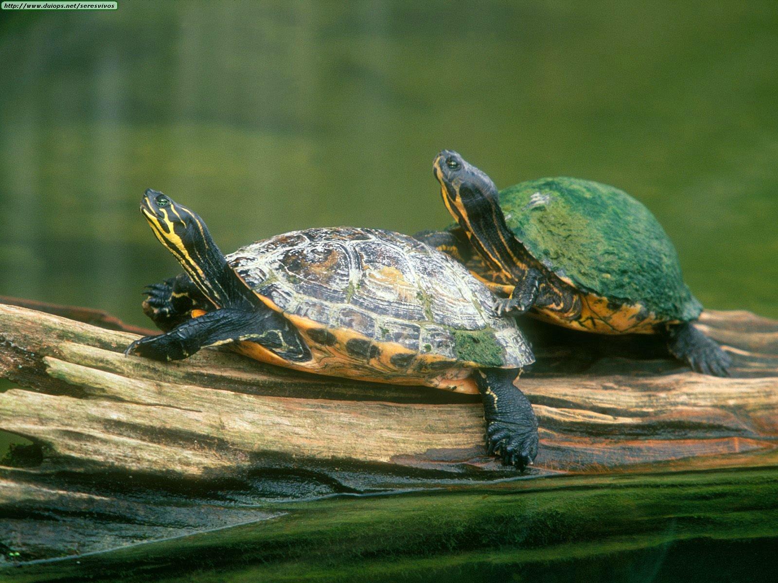 H P Reptiles Fotos de tortug...