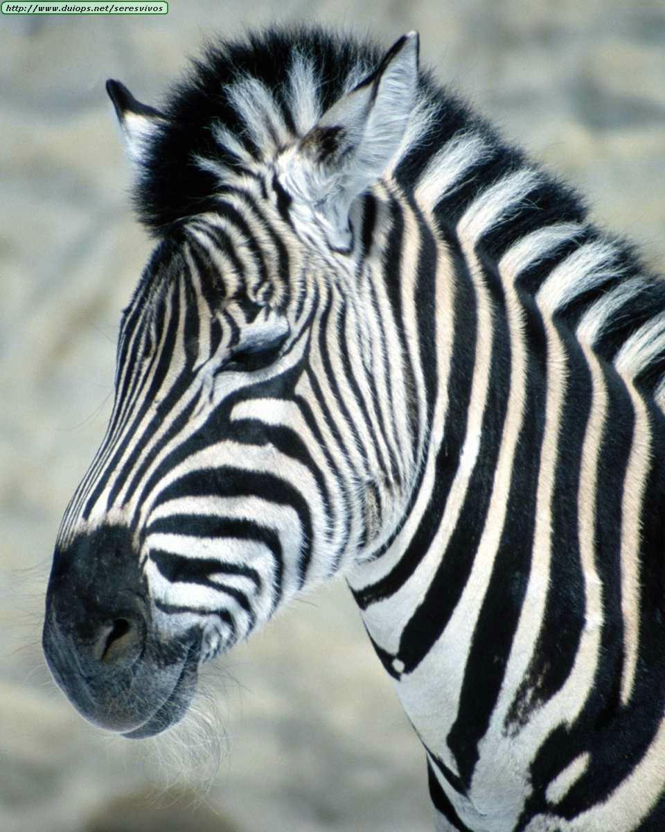 Zebras photos - Cuadros de cebras ...