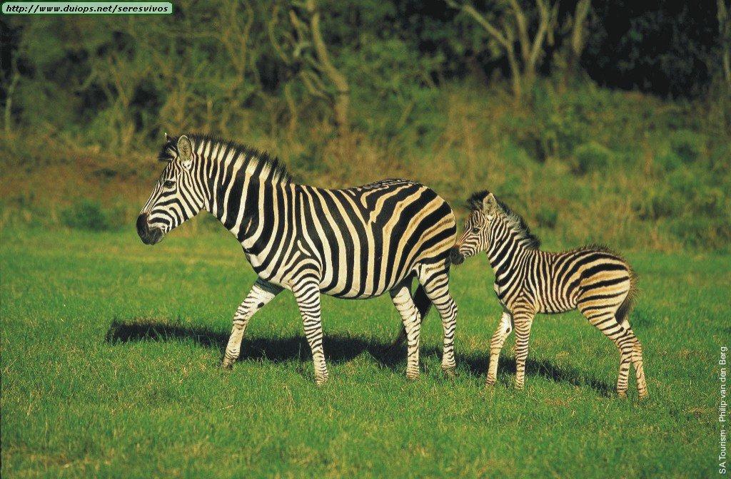 Zebras photos