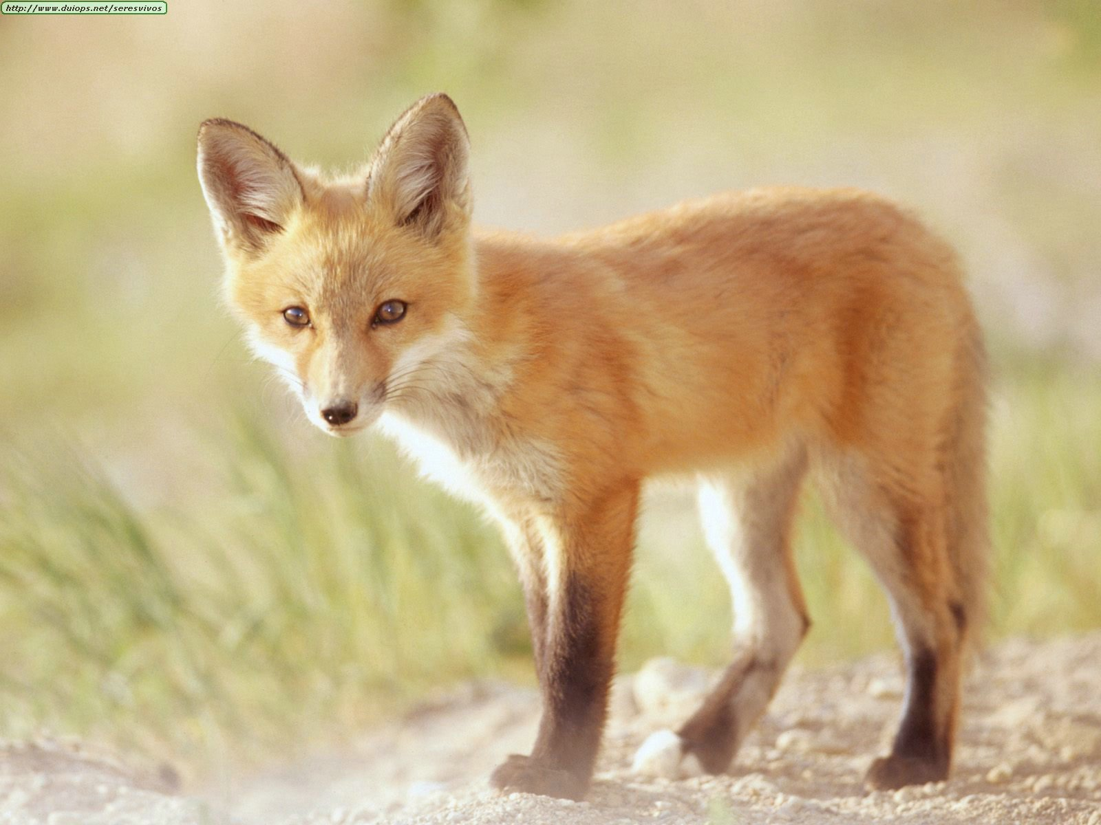 external image Animals%20Foxes_Red%20Fox%20Kit,%20Indiana.jpg